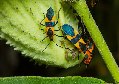 Large Milkweed Bugs, Oncopeltus fasciatus, feed on a seed pod (Iowa, USA). Like other milkweed-feeding insects, milkweed bugs acquire toxins from their host plant and advertise their distastefulness with bright warning coloration.