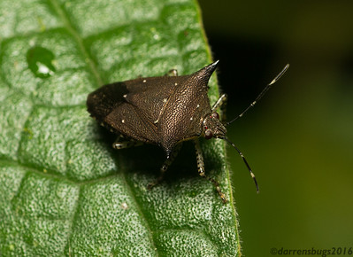 Spined stink bug, Pentatomidae (Belize).