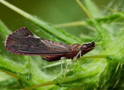 Derbid Planthopper, Apache degeeri (Wisconsin, USA).