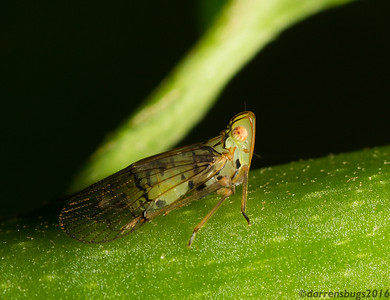 Planthopper (Fulgoroidea: possibly Dictyopharidae) from Belize.