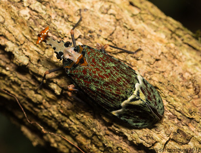 Ornate Lanternfly, Phrictus quinquepartitus, from Belize.
