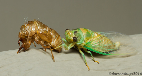 A freshly-molted annual cicada, genus Tibicen, dismounts from its exuvia (Iowa, USA). (Note: image is rotated 90 degrees counterclockwise.)