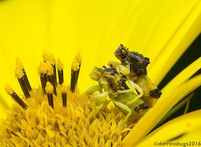 Coupled Jagged Ambush Bugs, genus Phymata (Iowa, USA).