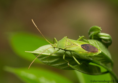 Leaf-footed bug - Coreidae: genus Savius, from Belize.