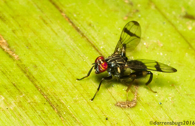 A fly with gorgeous eyes (Richardiidae) from Panama.