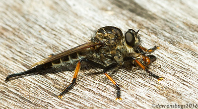 Robber fly, Asilidae, with beetle prey (Monteverde, Costa Rica). The robust thorax (midsection) stores powerful flight muscles, allowing these impressive predators to pick prey out of mid-air.