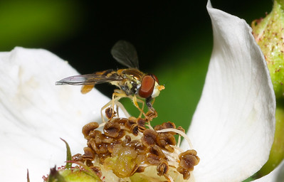 Syrphid fly, genus Toxomerus, from Iowa.