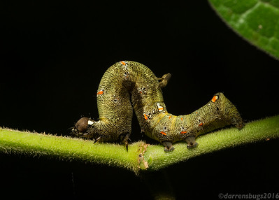 Erebid moth caterpillar (family Erebidae) being attacked by a biting midge, family Ceratopogonidae, in Belize.