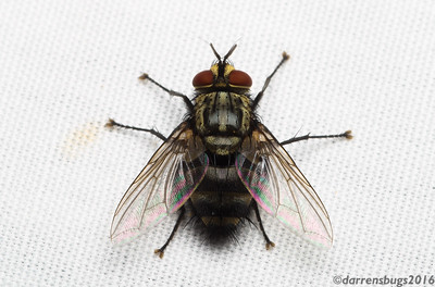 Tachinid fly (Tachinidae) from Belize. Members of this family are known as protelean parasitoids; that is, they spend their larval stage as internal parasites, killing the host when they emerge as free-living adults.