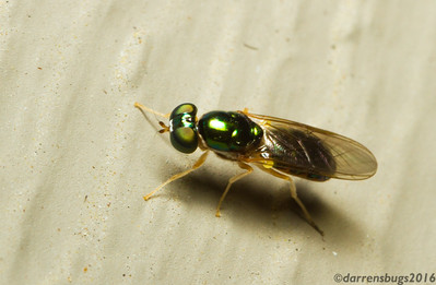 Soldier fly (Stratiomyidae) from Iowa, USA.