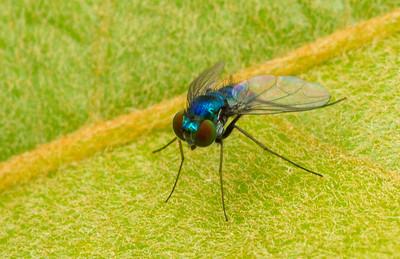 Long-legged fly, Dolichopodidae, from Panama.