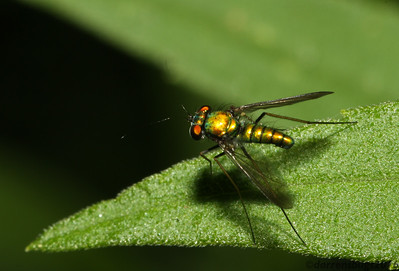 Long-legged Fly (Dolichopodidae) from Iowa.