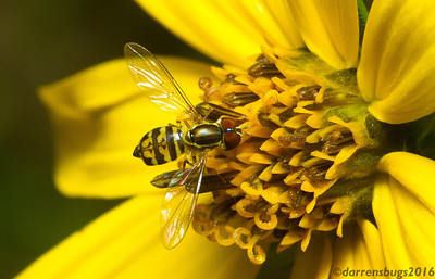 Syrphid fly (Syrphidae, also known as flower flies or hover flies), probably Toxomerus sp., from Wisconsin.