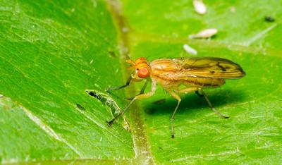 Marsh Fly (Sciomyzidae: possibly Tetanocera plebeja) from Minnesota.
