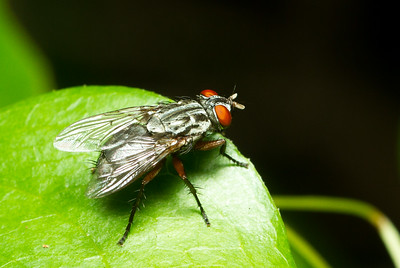 Flesh fly (Sarcophagidae) from the Timucuan Preserve in Jacksonville, Florida.