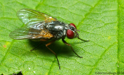 House fly, Muscidae, from Iowa.