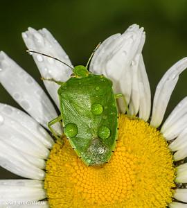 HEMIPTERA: Pentatomidae: Chinavia hilaris, green stink bug