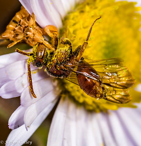 HEMIPTERA: Reduviidae: Phymata sp., jagged ambush bug feeding on andrenid bee.