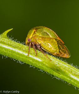 HEMIPTERA: Membracidae: Ceresa lutea, buffalo treehopper
