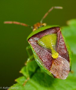 HEMIPTERA: Pentatomidae: Banasa dimidiata, green and brown stink bug