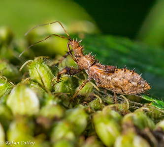 HEMIPTERA: Reduviidae: (assassin bugs)  Harpactorinae: Sinea diadema, spined ambush bug