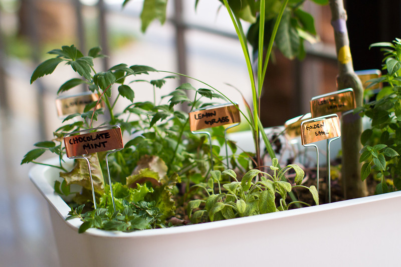 Herbs out front in a portable, rolling basket. Shown here: chocolate mint, lemongrass, and golden sage.