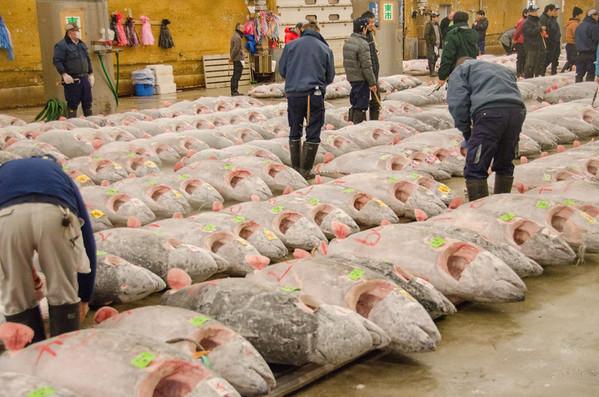 Frozen tuna auction - Tsukiji Fish Market, Tokyo