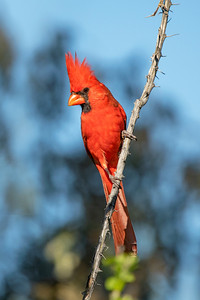 Northern Cardinal The Pond at Elephant Head Amado AZ