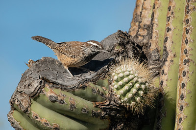 Cactus Wren Roadside Tucson AZ