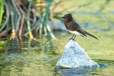Black Phoebe Sweetwater Wetlands Tucson AZ