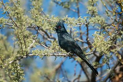 Phainopepla Lincoln Park Tucson AZ