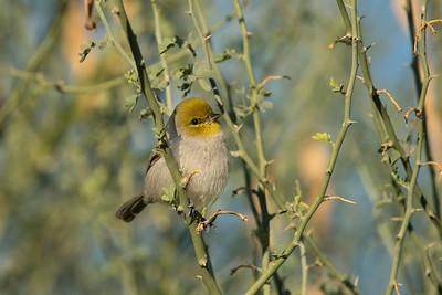 Verdin Sweetwater Wetlands Tucson AZ