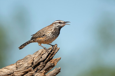 Cactus Wren The Pond at Elephant Head Amado AZ