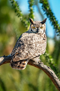Great Horned Owl Arizona Sonora Desert Museum Tucson AZ