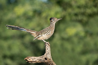 Greater Roadrunner The Pond at Elephant Head Amado AZ
