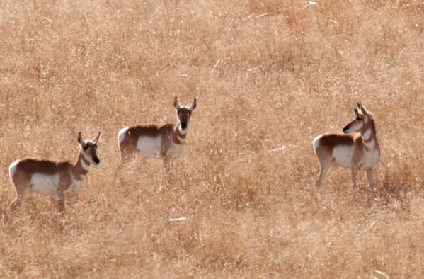 Sonoran Pronghorn