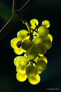 druiven_LI20284c_JD_CHK0816ZO