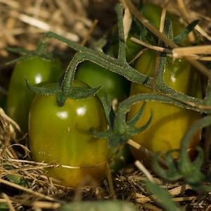 Tomaten_7405r_JD_CHK0815ZO