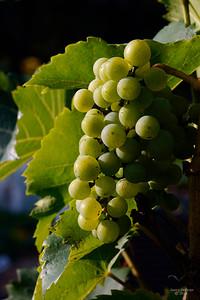Druiven_7808b_JD_CHK0815ZO