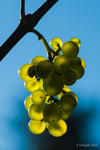 druiven_LI20292c_JD_CHK0816ZO