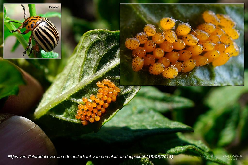 Eitjes van Coloradokever aan de onderkant van een blad aardappelloof_5896b_JD_CHK0515LE