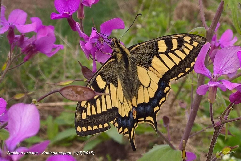 Papilio_machaon_Koninginnepage_20150504_12_06_13b_JD_CHK0515LE