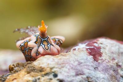 Psychedelic Batwing Slug (Sagaminopteron psychedelicum)