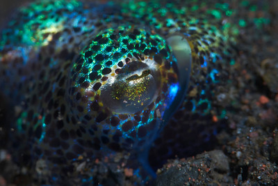 Eye of a Berry's Bobtail Squid (Euprymna berryi)