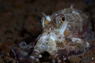 White-V Octopus (Abdopus sp)