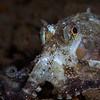 White-V Octopus (Abdopus sp)