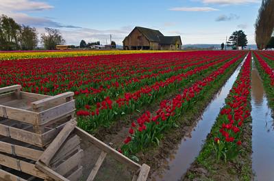 Tulip Festival, WA