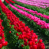 Tulips at Tulip Town, Mount Vernon, Washington, April 2017.