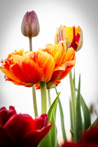 Close-up of Colorful Tulips