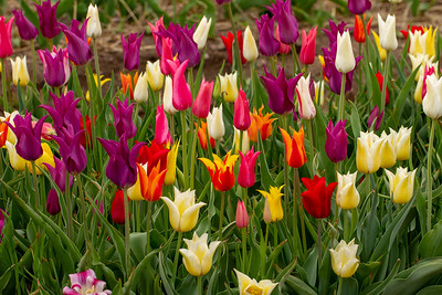 Field of Colorful Trumpet Tulips